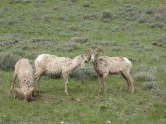 Bighorn sheep in the National Elk Refuge