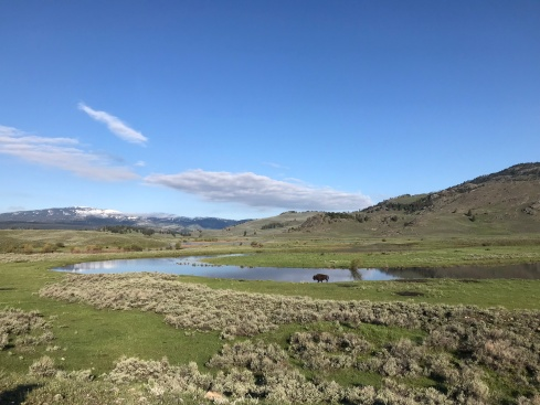 Bison roaming Lamar Valley