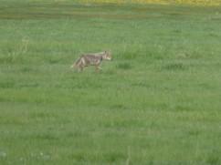 Coyote in the National Elk Regufe